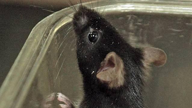 Jedes Jahr werden in der Schweiz Hunderttausende Tiere für Versuchszwecke eingesetzt. (Symbolbild)