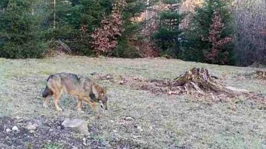 Der gleiche Wolf war 2020 sowohl im Kanton Aargau als auch in der Ostschweiz unterwegs. Dies zeigten genetische Analysen. (Symbolbild)