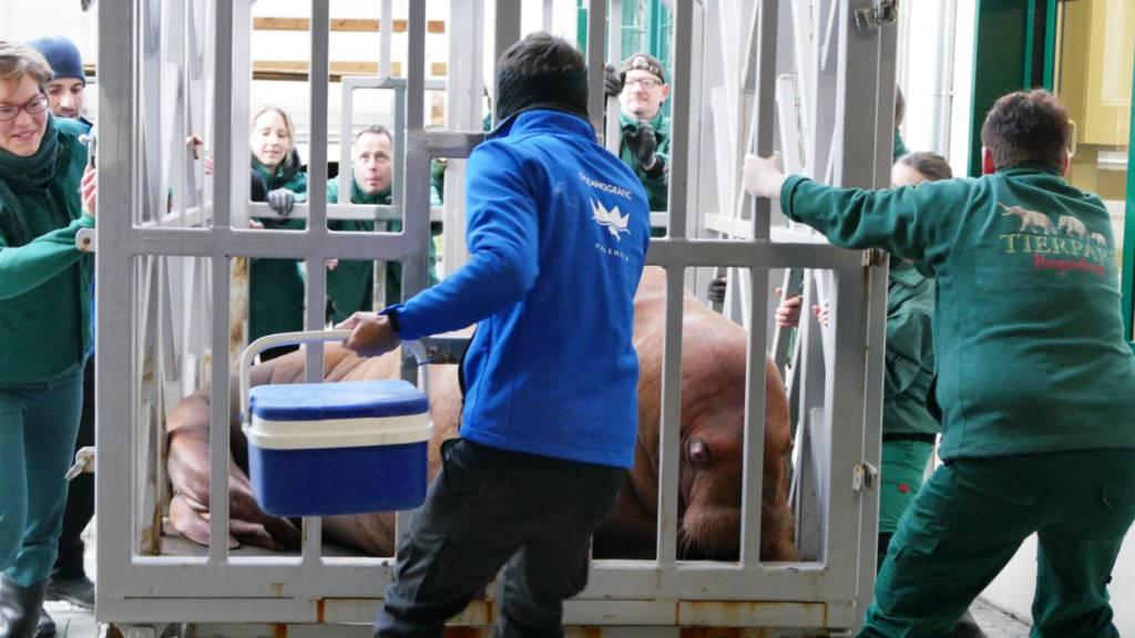 Walrosskühe aus Spanien und Europas einziger Zuchtbulle paaren sich