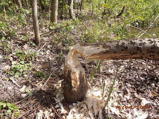 Dieser Baum wurde vom Biber gefällt