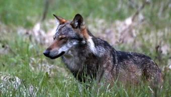 Der Wolf M75 hat in den Kantonen Graubünden, Tessin, St. Gallen, Thurgau und Zürich über 50 Schafe gerissen. Nun hat nach Graubünden und Tessin auch der Kanton St. Gallen das Raubtier zum Abschuss frei gegeben (Archivbild KEYSTONE/Marco Schmidt)