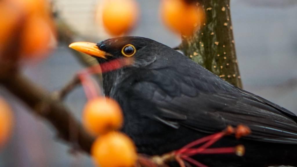 Der Gesang der Amsel ist ab Februar fast überall in der Schweiz zu hören. Sie ist der dritthäufigste Brutvogel der Schweiz. (Archivbild)