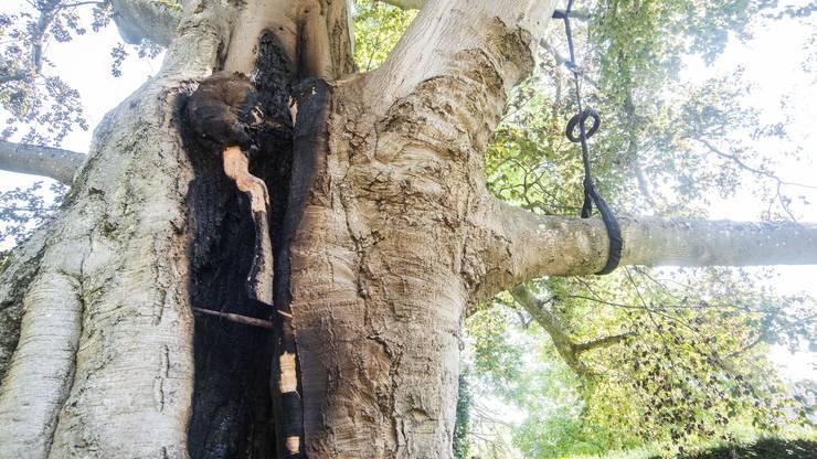 Der Baum muss bereits wegen seines Gewichts gestützt werden.