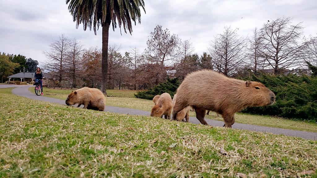 Auf diesem vom Nachbarschaftsverband Nordelta zur Verfügung gestellten Bild beobachtet eine Radfahrerin grasende Wasserschweine. In dem exklusiven Wohnviertel nördlich der argentinischen Hauptstadt Buenos Aires sind Hunderte Wasserschweine eingefallen.