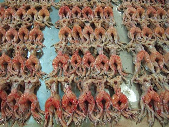 Froschschenkel gelten als Delikatesse, zum Ärger der Tierschützer.