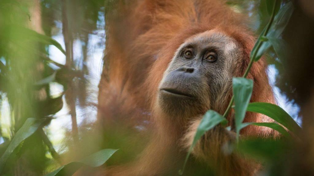 Nur rund 800 Exemplare existieren von der neu beschriebenen Orang-Utan-Art. Das macht sie zum am stärksten bedrohten Menschenaffen.