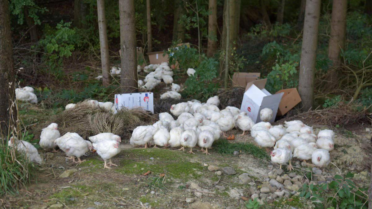 Die jungen Hühner wurden vom Täter in Oktober 2015 im Wald bei Happerswil ausgesetzt.