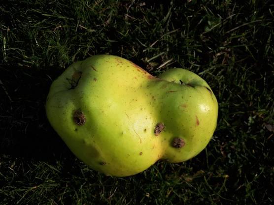 Zwillingsglocken-Apfel. 'aus Platzgründen mussten wir uns zusammen tun'