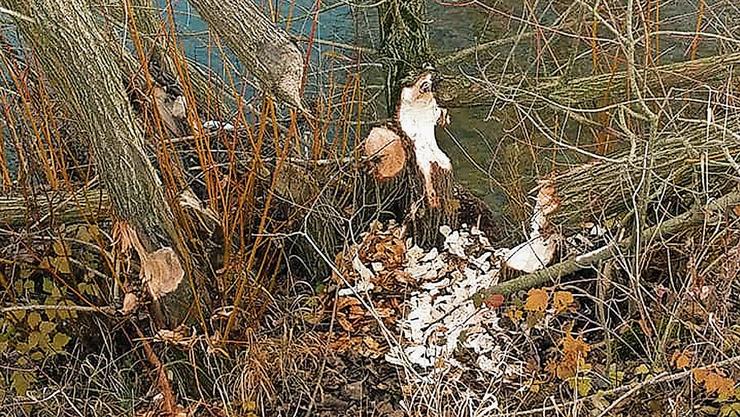 Deutliche Spuren: Ein von einem Biber angenagter Baumstamm an der Sissle bei Frick.