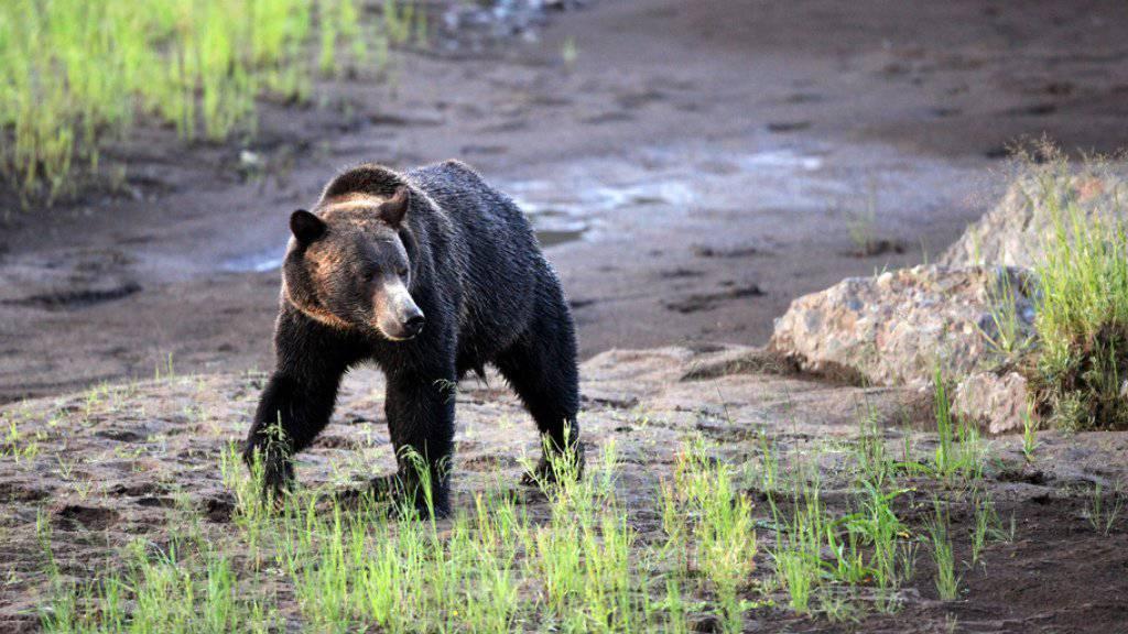 Keystone/AP Marc Cooke/Wolves of the Rockies/MARC COOKE