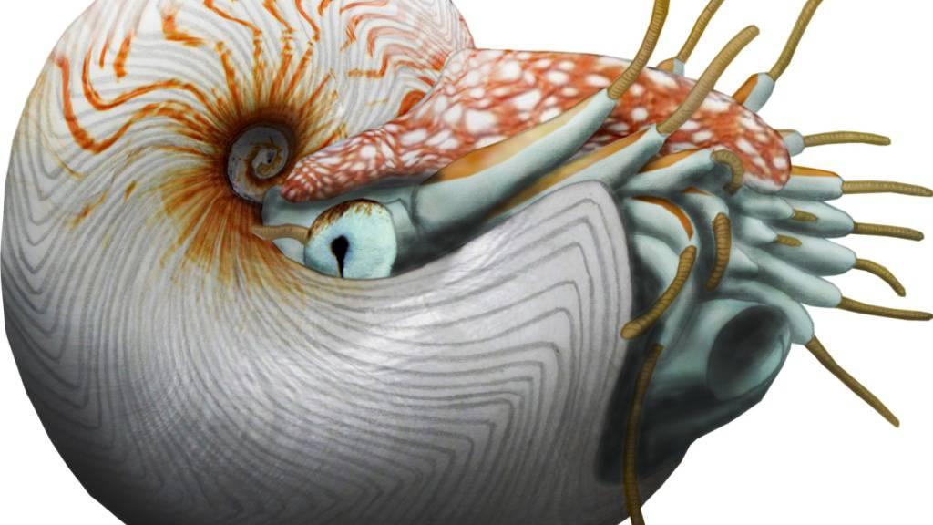 Künstlerische Darstellung des Perlboots, das vor rund 100 Millionen Jahre in der Kreidezeit durch die Meere schwamm.
