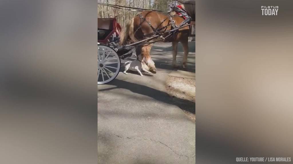 Pitbull attackiert Pferd während Kutschenfahrt