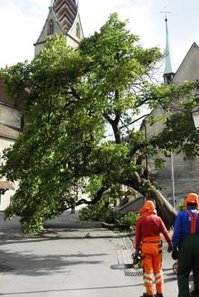 Der Baum beim Badener Kirchenplatz während der Fällaktion