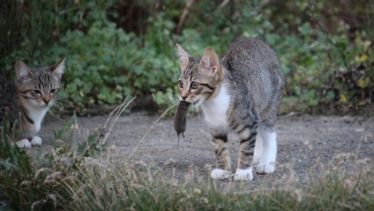 Der Jagdtrieb der Katzen kann durchaus auch der Forschung dienstbar gemacht werden.