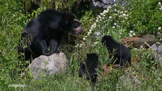 Brillenbären-Babys auf Entdeckungstour