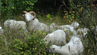 Die Skudden-Schaf-Herde lieferte am Waldrand beim grossen baselstädtischen Friedhof Hörnli eine überzeugende Arbeitsprobe ab, sodass der Stadtkanton sie nun regulär zum Rasenmähen engagiert.