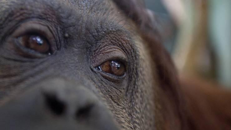 Orang-Utan-Weibchen geraten durchaus mal aneinander. Das endet aber in der Regel nicht tödlich. Ausser in dem Fall, den Schweizer Forschende beobachtet haben.