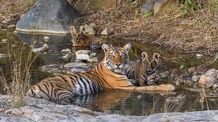 In letzter Minute hat Rudolf Hug diese Tigermutter und ihre zwei Jungen vor die Linse bekommen.