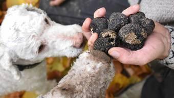 Italienische Wasserhunde nach der Trüffelsuche auf einer Plantage in Sachsen. Die Anlage von Trüffelfeldern müssen die Behörden genehmigen.