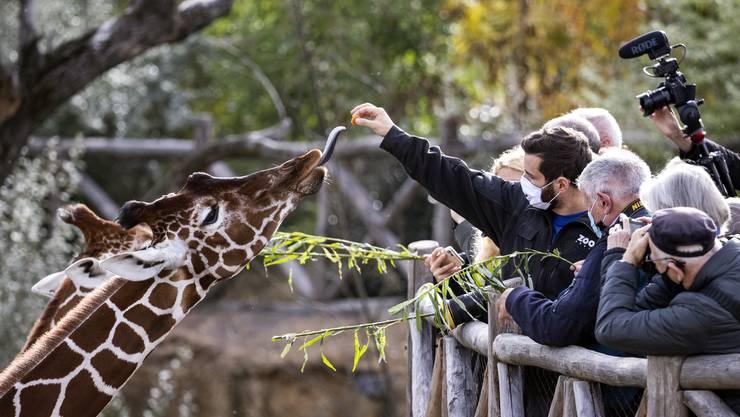 In der neuen Lewa-Savanne des Zoo Zürich sind derzeit vier Giraffen mit Namen Jahi, Malou, Irma und Luna zu sehen.