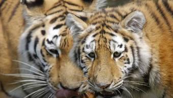 Zwei Tiger sollen im Norden Indiens in den letzten Wochen sieben Menschen getötet haben. (Symbolbild)