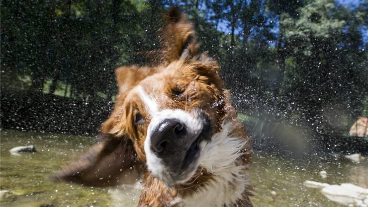 Lou hats gut, er weiss nichts von der Hunde-Bürokratie, die den Einwohnerämtern zu schaffen macht.Ennio LEanza/Keystone