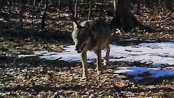 In Erlinsbach tappte der Wolf in die Fotofalle.