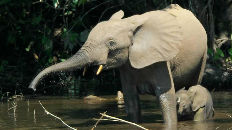 Waldelefanten sind sogar noch stärker gefährdet als ihre Vetter, die Savannenelefanten. In der Elfenbeinküste brachen die Bestände in den letzten Jahrzehnten dramatisch ein.