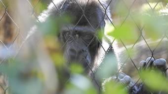 Weil es sich beim Zolli um eine private Institution handelt, wäre er mit seinen Primaten von der Initiative nicht betroffen.