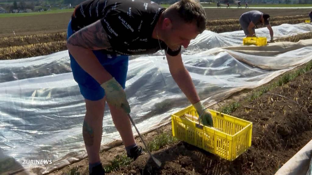 Saisonstart für Spargeln: Trotz der teilweise eisigen Kälte wird fleissig gestochen