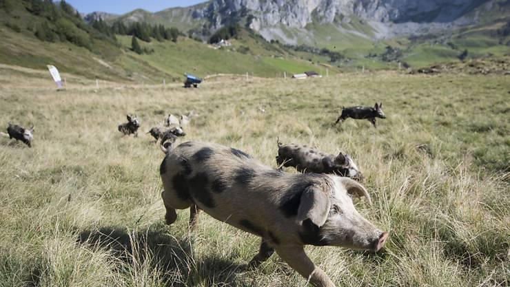 Nicht alle Schweine geniessen eine so artgerechte Haltung wie diese auf der Alp Selez im Kanton Uri. (Archivbild)