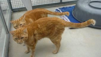 Die beiden Katzen Sunny und Sonny sollen vernachlässigt worden sein, so die Staatsanwaltschaft Brugg-Zurzach.