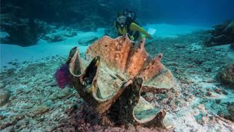Wurde die Grosse Mördermuschel (Tridacna maxima) so gross, weil sie einem Evolutionstrend folgte? (Dieses Tier ist tot, also nicht mehr gefährlich.)