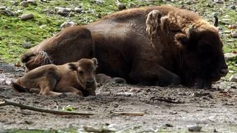 Wisente in einem Tierpark (Symbolbild)