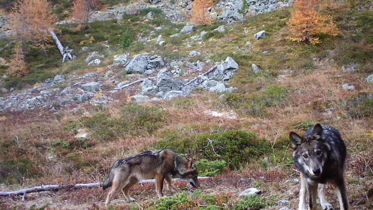 Zwei Wölfe des im Augstbordgebiet im Oberwallis ansässigen Rudels (Archivbild)