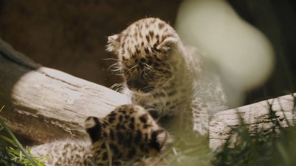Seltene Leopardenbabys toben im Zoo