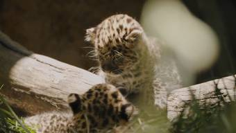Zwei Amurleopardenbabys befinden sich jetzt in ihrem Freigehege im kürzlich wiedereröffneten Zoo von San Diego. Amurleoparden sind die seltenste unter den Grosskatzenarten auf dem Planeten.