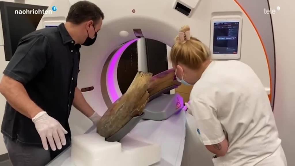 Zuger Mammutzahn wird untersucht