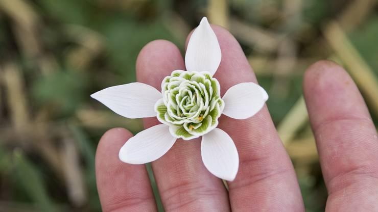 Die Blume Richard Ayres ist mit einer Rosette gefüllt.