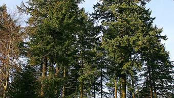 Douglasien im Wald. (Archiv)