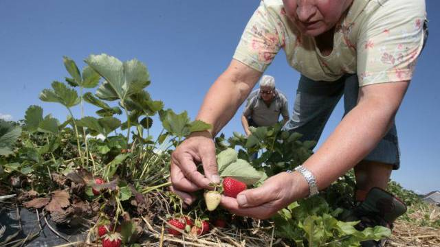 Besucher pflücken Erdbeeren in Berg TG (Symbolbild)