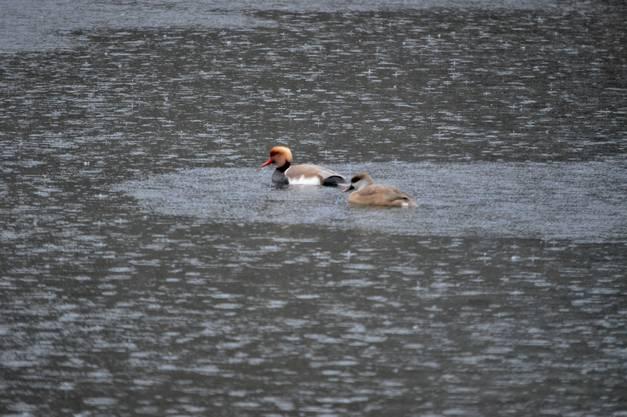 Kolbenenten trotzen dem Regen, Binzerliweiher