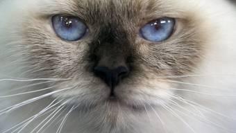 Die Augen dieser Hauskatze verraten viel über die Lebensweise. Die Pupillenform erlaubt es den Katzen sich unterschiedlichsten Lichtverhältnissen anzupassen. (Archiv)