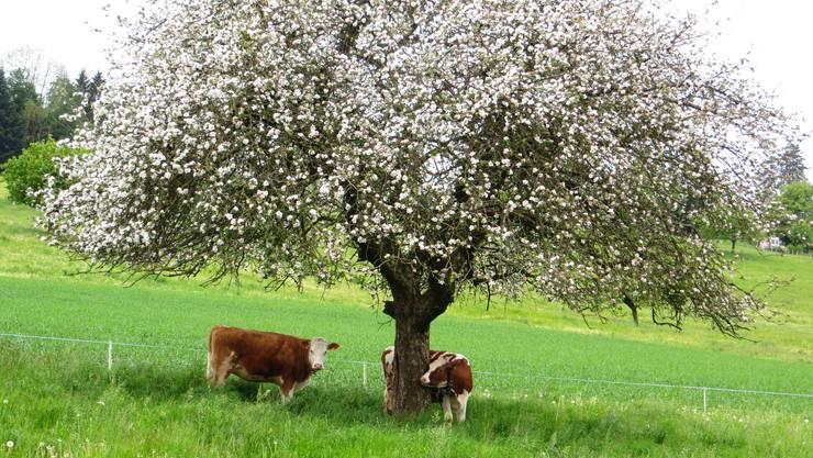 Die Blüten vom Apfelbaum, darunter schon die Kühe.