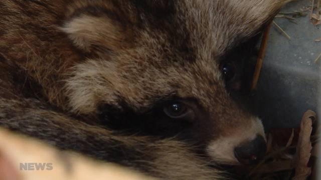Vier sind einer zu viel: Marderhund sorgt im Dählhölzli für Verwirrung