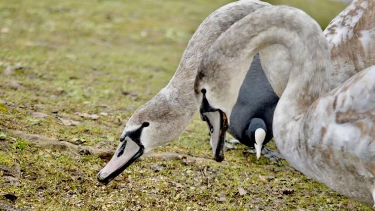 Höckerschwan und Blesshuhn am Energie tanken