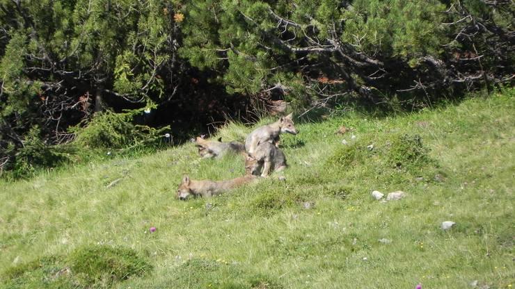 Ein Rudel Wölfe.