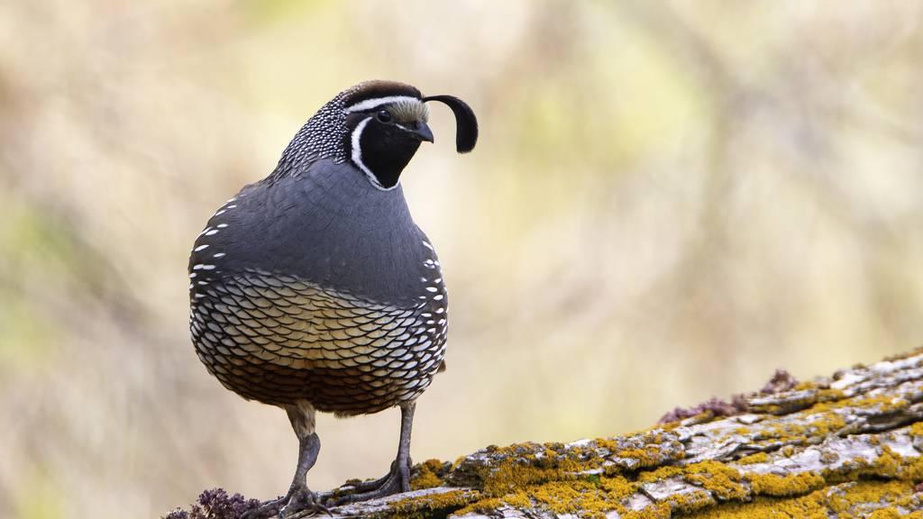 Diese Aargauer Vögel gelten als gefährdet