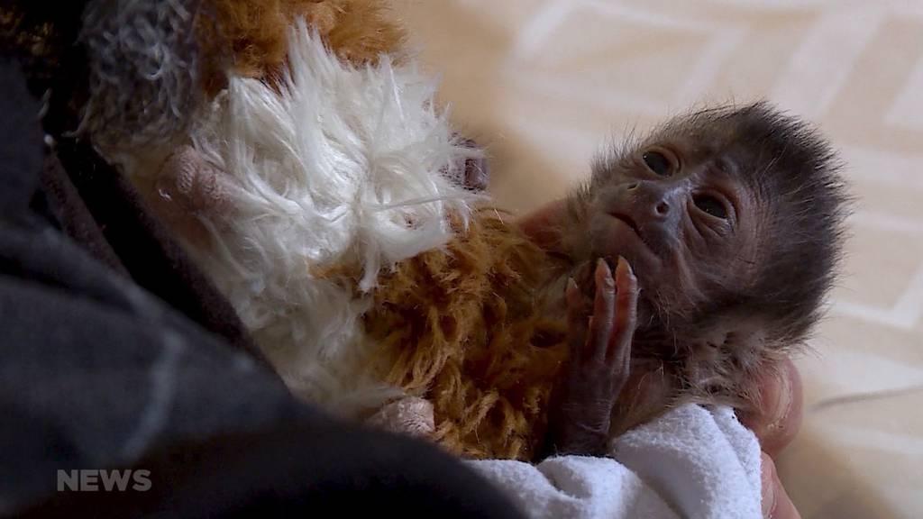 Jööh-Alarm im Sikypark: Tierpfleger springt als Papi für Affenbaby ein