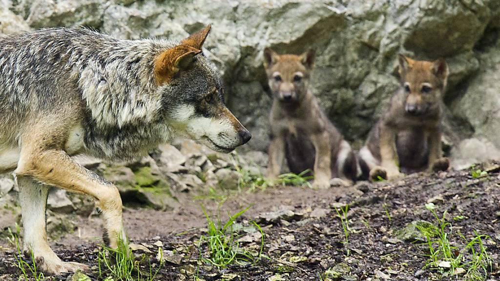 Wildhüter schiessen zwei Jungwölfe